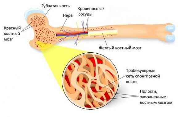 Остеосклерозом в основном поражаются длинные трубчатые кости