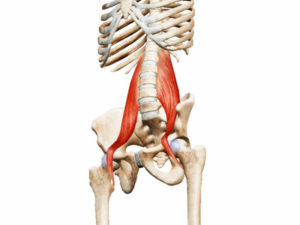 Предстательная железа, тело седалищного нерва, поясничные мышцы