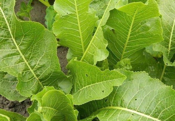При шейном остеохондрозе листья хрена очень эффективны