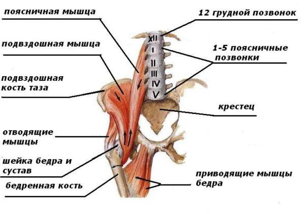 Расположение поясничной и подвздошной мышцы