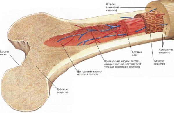Строение кости