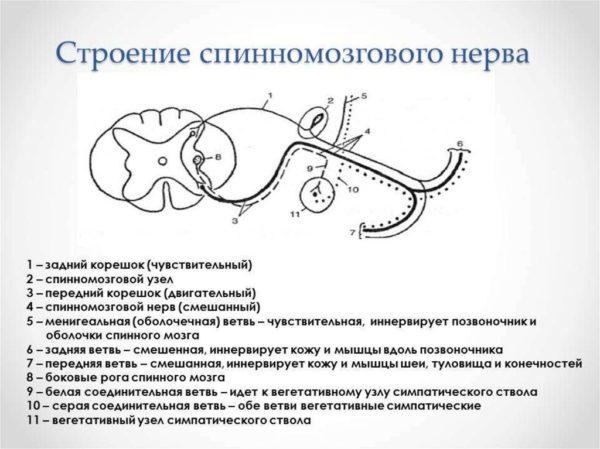 Строение спинномозгового нерва