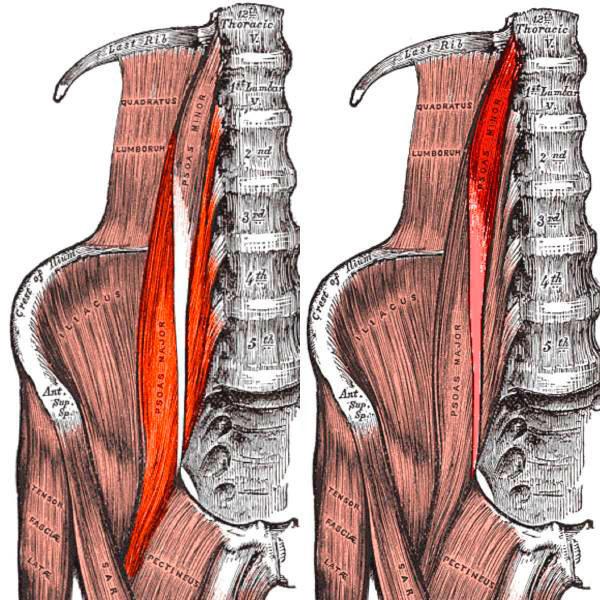 Схематичное изображение подвздошно-поясничной мышцы