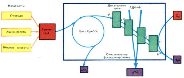 Схема процесса дыхания
