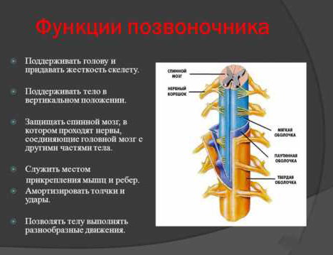 Функции позвоночного столба