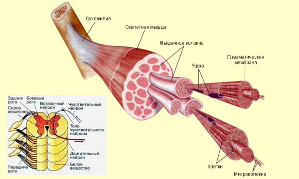 Поражение нейронов в спинном мозге приводит к тяжелым нарушениям в работе скелетных мышц