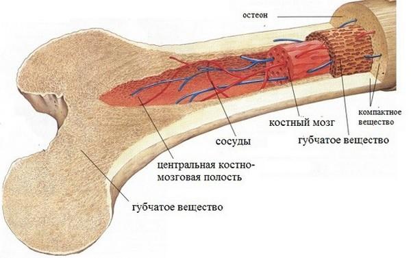 При каких-либо патологиях костного мозга сильно страдает весь организм