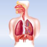 Органы дыхательной системы (левая сторона){amp}#x9;