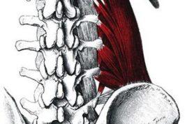 Квадратная мышца поясницы состоит из трех групп различных волокон, выполняющих определенные функции