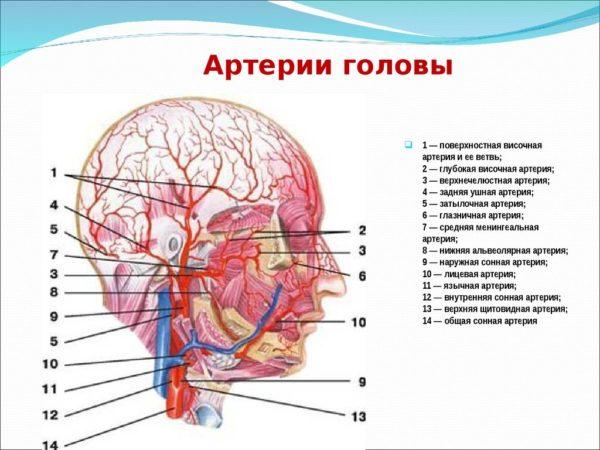 Артерии головы