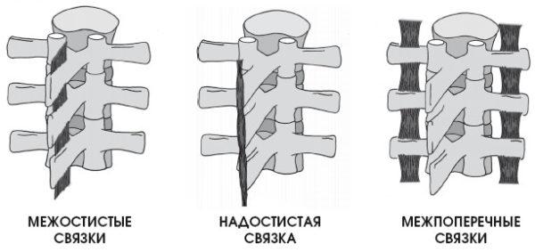 Виды коротких связок позвоночника