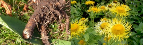 Корень и цветы девясила