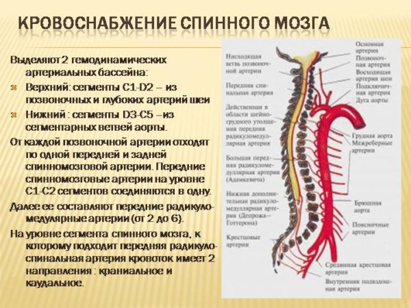 Кровоснабжение спинного мозга
