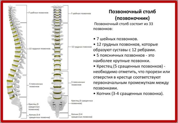 Позвоночный столб состоит из 33 позвонков