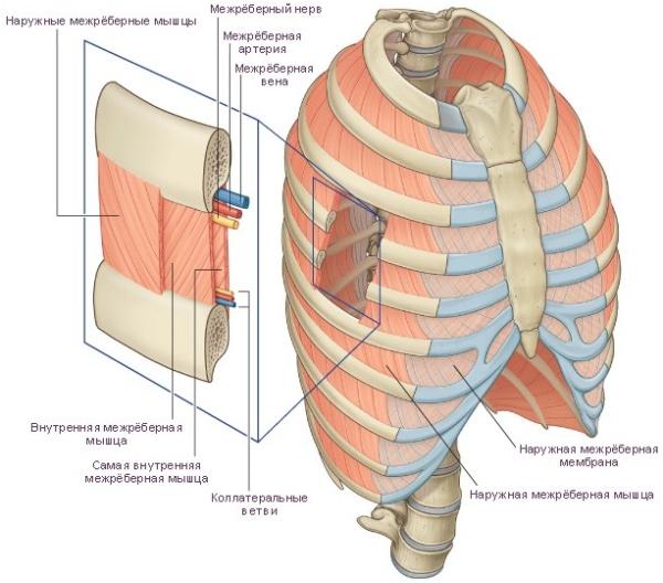 Состав грудной клетки
