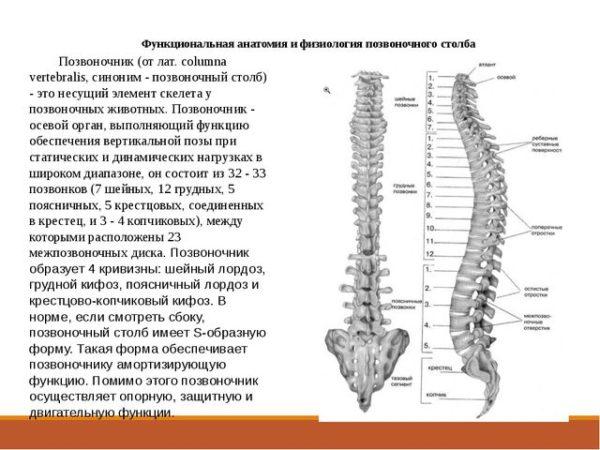 Анатомия и физиология позвоночного столба